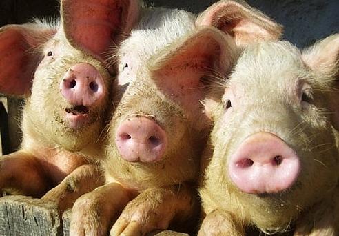 ВХарьковской области объявлен карантин всвязи совспышкой африканской чумы свиней