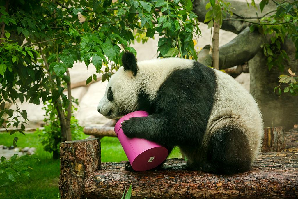 Панда из Московского зоопарка.