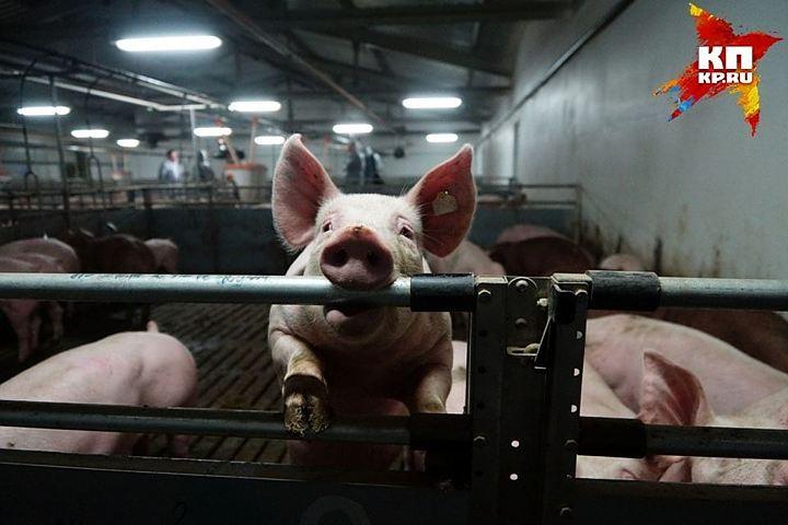 Мертвых свиней, зараженных АЧС, спрятали насвалке вРостовской области
