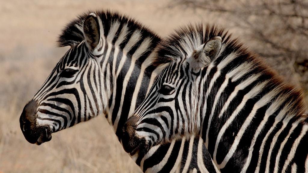 Картинки, открытка полосатая зебра
