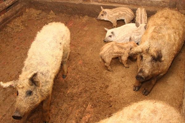 ВПолтавской области вспыхнула африканская чума свиней