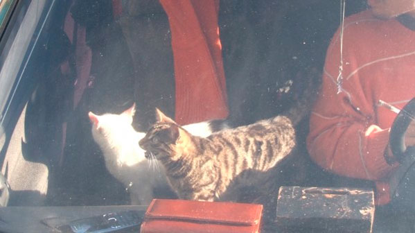 Челябинцы неделю продержали невоспитанных котов взапертой машине без еды