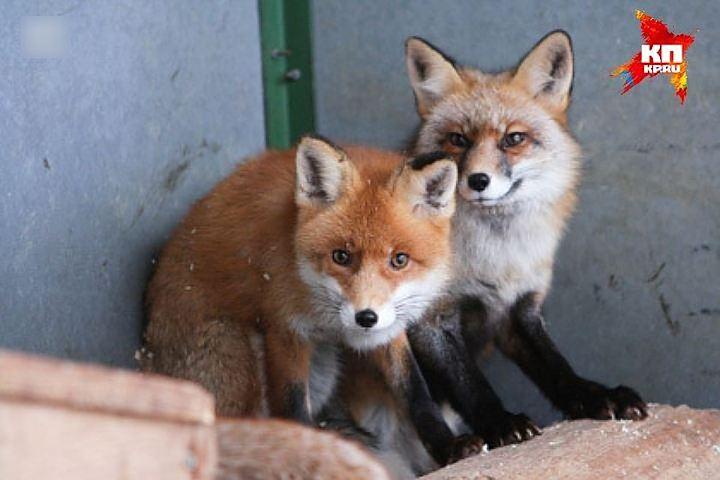 ВРостовской области охотники убили  трёх бешеных лисиц