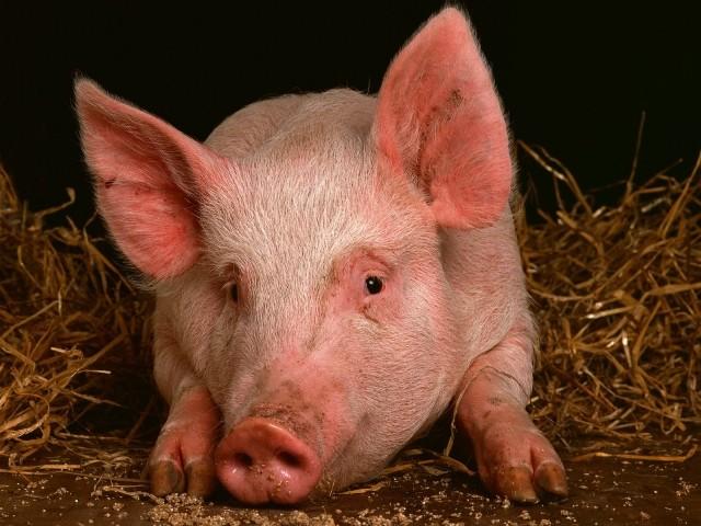 Внимание, опасность. Африканская чума свиней найдена вВачском районе