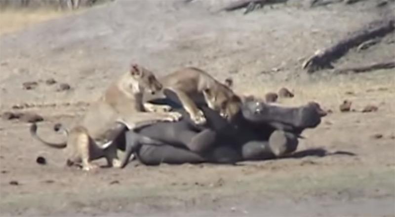 Шокирующая схватка львиц ислоненка угодила навидео