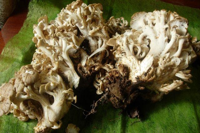Практически 3-килограммовый гриб отыскали вПермском крае впервый раз за50 лет