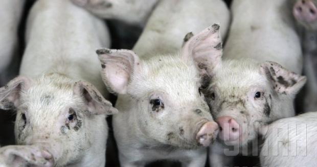 НаУкраине новая вспышка африканской чумы свиней