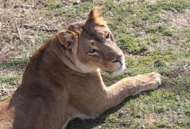ВоЛьвовской области в личном зверинце лев покусал 2-х гостей