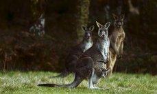 Австралийский тинейджер сознался в подготовке теракта с участием кенгуру