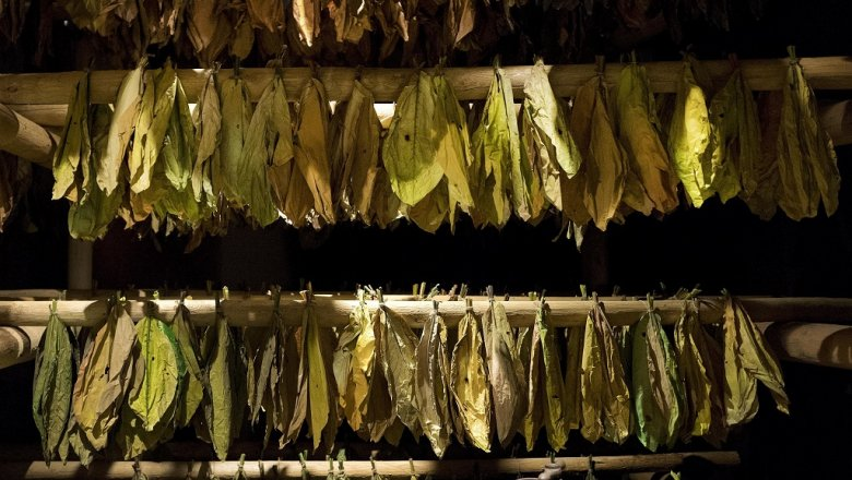 Ученые обучили табак расти на20 процентов скорее