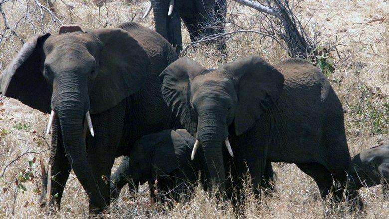 В Нью-Йорке публично изничтожат более тонны слоновой кости