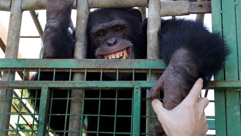 Шимпанзе сделали лестницу и убежали иззоопарка— Обезьяний заговор