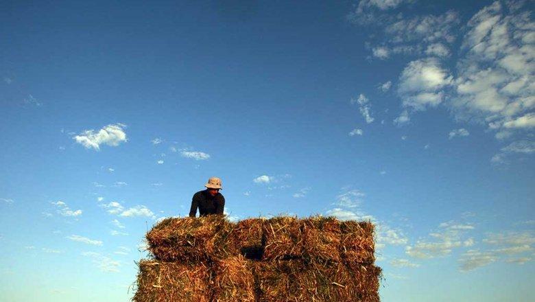 США увидели угрозу в русском урожае пшеницы