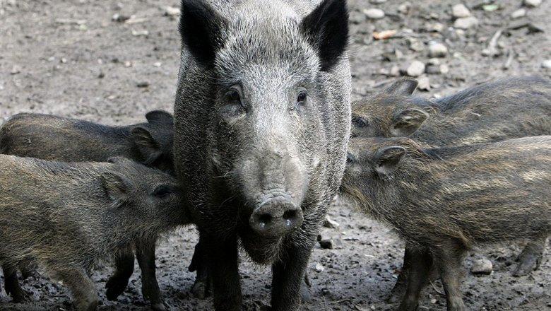 ВПриморье найден вирус традиционной чумы свиней