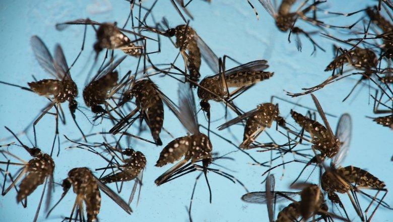 Ученые заразят комаров бактериями для борьбы свирусом Зика