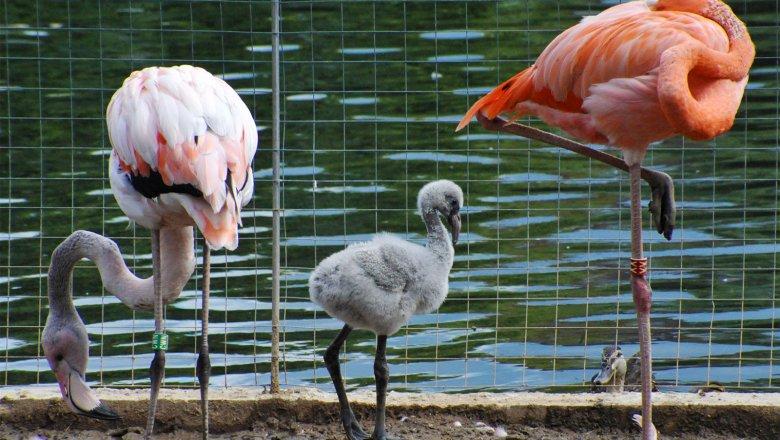 5 птенцов фламинго родились вМосковском зоопарке