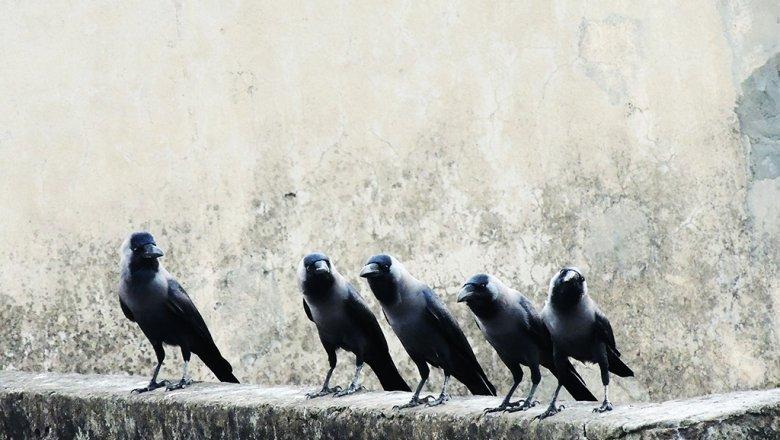 На борьбу с воронами на крыше правительства потратят почти 43 млн руб