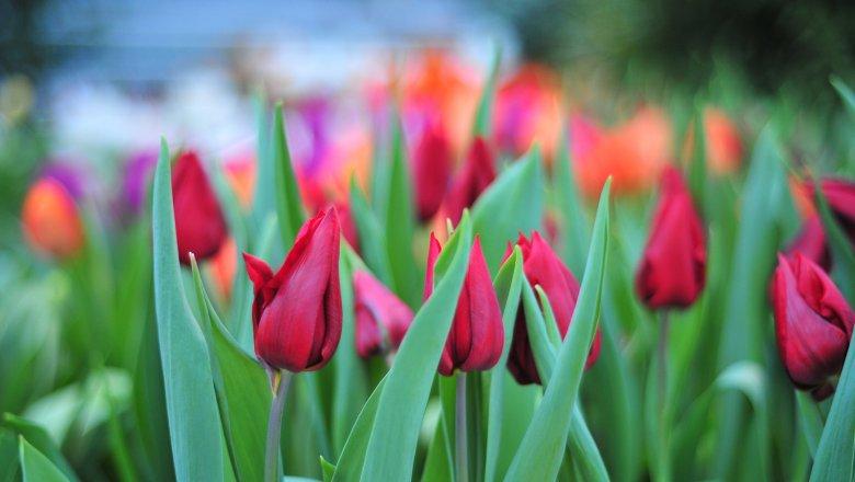 Москва закупит 100 сортов тюльпанов для весенних цветников