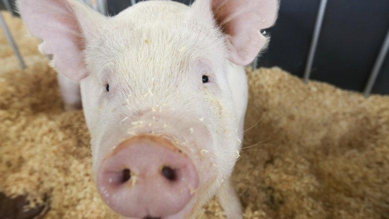 Еще водном районе Харьковской области обнаружили африканскую чуму свиней