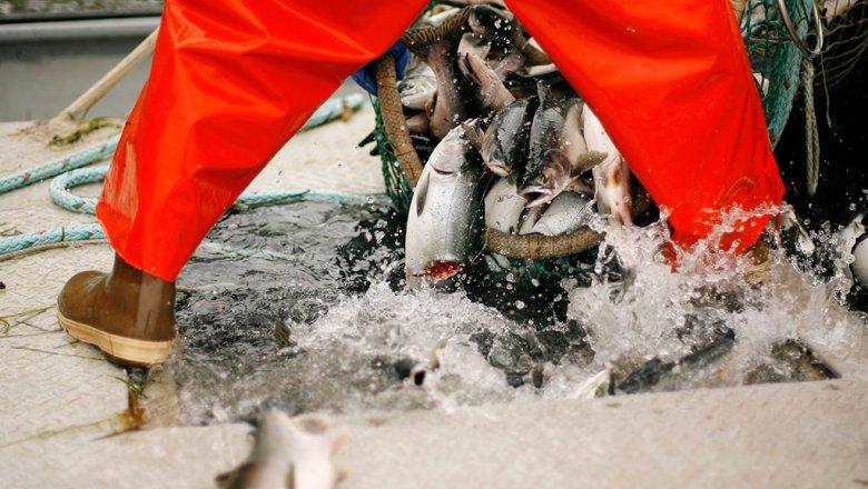 Рекордное за25 лет количество красной рыбы выловили вкрае