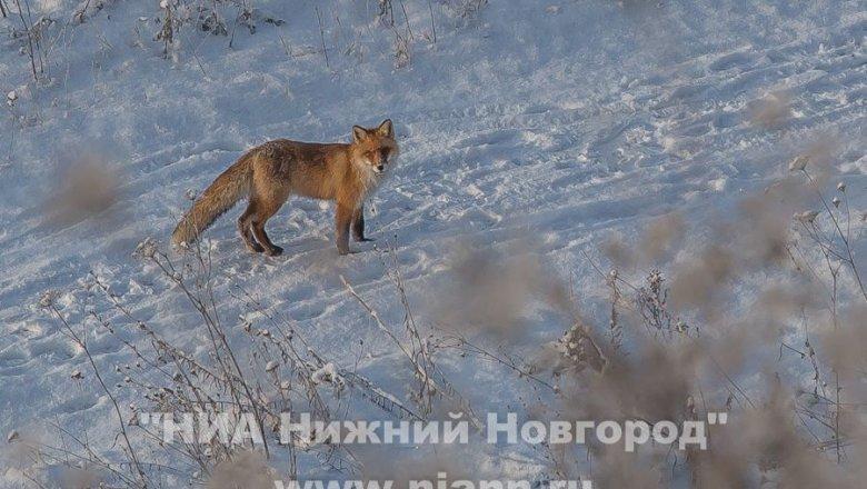 1-ый в 2018г. случай бешенства зарегистрирован вНижегородской области